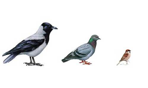 картинка воробья голубя вороны